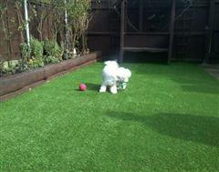 Another Happy chappie with Artificial Grass